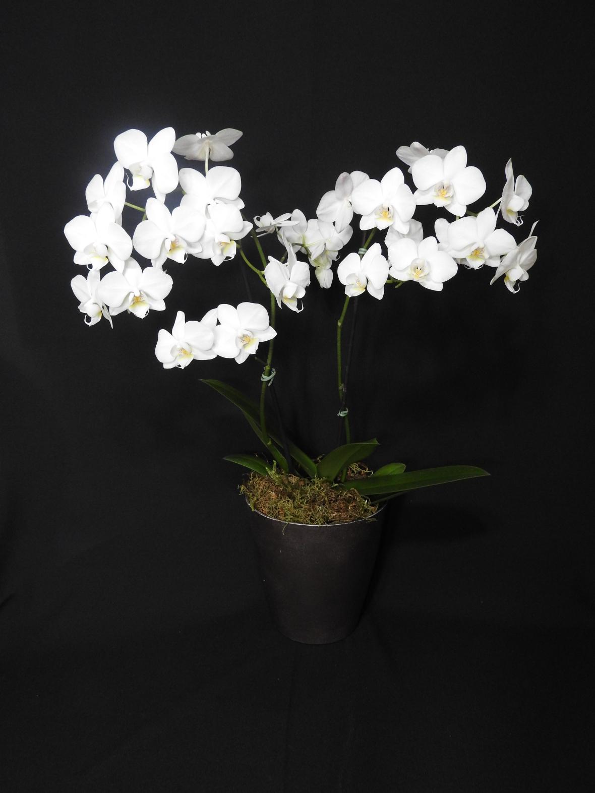 Arranjo Orquídea Phalaenopsis